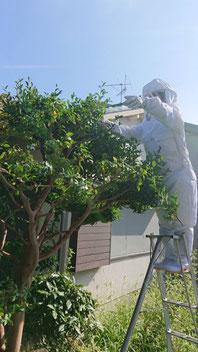 名古屋市瑞穂区で蜂がいる木を剪定している庭師