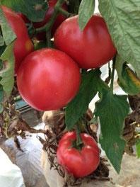 トマト大豊作!