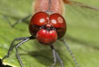 Portrait eines Männchens der Blutroten Heidelibelle.