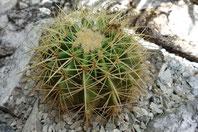 Echinocactus Schwiegermuttersitz
