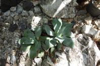 A.-pygmae seemaniana