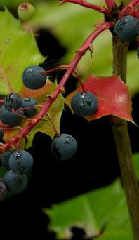Uva de Oregón, fruto