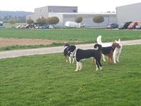 Maxi - Norwich Terrier