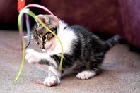 Ein kleines Kätzchen das mit einem bunten Band spielt.