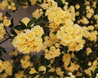 Meranerröschen Roasa Banksia Lutea