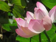 Lotuspflanze auch im Yoga ein Symbol für spirituelles Wachstum, von der Dunkelheit ins Licht