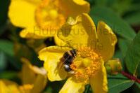 Bienenart auf Butterblume