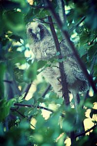 Junge Waldohreule - Leben mit der Natur