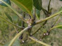 マンゴーの新芽