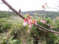 2020/1/1 桜のつぼみ
