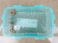 容器にカタツムリとスラゴ顆粒を離して入れた状態。