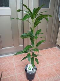 マハチャノックマンゴーの苗木