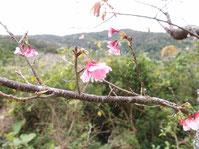 2020/1/1 開花した桜
