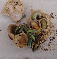 クロスズススバチの巣 幼虫の入っている写真