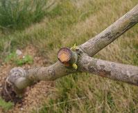 剪定部からのマンゴーの新芽