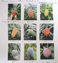 マンゴーの品種ごとの写真 9種
