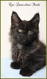 Maine Coon Junge