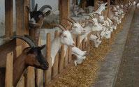 stabulation de chèvres pour création de site internet agricole par e-cime web