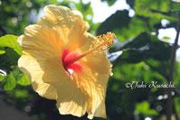 ドルフィンスイムができるハワイ島イメージ