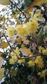 1月2日公園からの帰り道に蝋梅の香