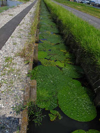 こちらが自生地の水路。狭い!