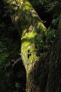 木の股にいたヤシャビシャク