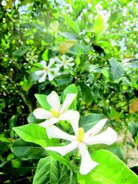 若夏の到来を告げるように咲くクチナシ=1日、石垣市於茂登岳近く