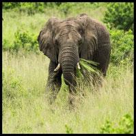 Einer der Big Five: Der Afrikanischer Elefant