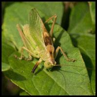 Männchen der Zwitscherschrecke (Tettigonia cantans)
