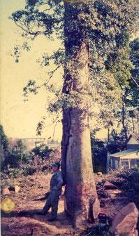 伐採前の欅と蔦(欅の左側の方から斜めに巻き付いています。)