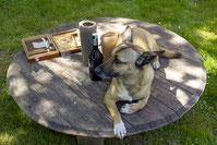 Un chien malinois berger belge avec des pattes blanches couché prés d'une bouteille d'alcool interdite pour le chien par coach canin 16 educateur canin en charente