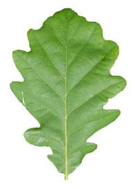 Die Traubeneiche (Quercus petraea) zählt zu unseren erdgeschichtlich ältesten heimischen Bäumen. Sie erreicht eine Höhe von 25-40 m und kann ein Alter von über 1000 Jahren erreichen