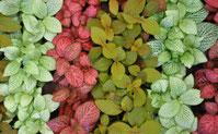Le fittonia - Classement des 10 plantes les plus résistantes par Garden & the City