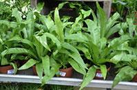 La fougère asplenium nidus - Classement des 10 plantes les plus résistantes par Garden & the City