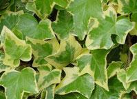 Le lierre Hedera Helix - Classement des 10 plantes les plus résistantes par Garden & the City