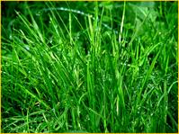 Der wichtigste Faktor für das Entstehen eines gepflegten Rasens ist allerdings das Saatgut. In diesem sind die Eigenschaften und das Leistungsvermögen des Rasens genetisch festgelegt.