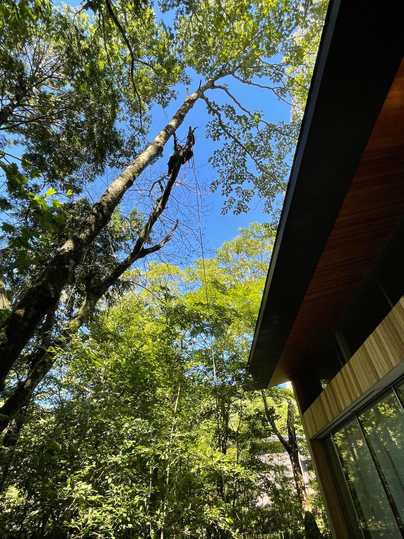 神奈川県足柄下郡箱根町のクリの木の伐採。