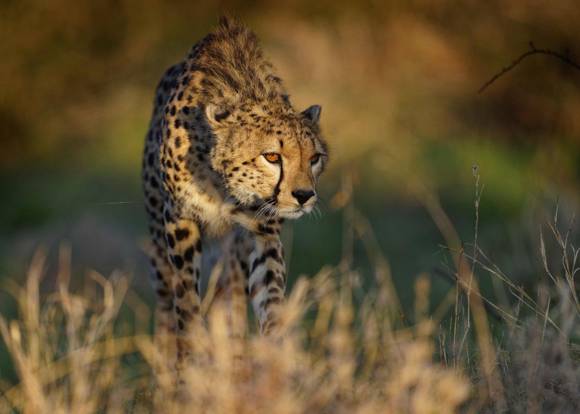 Maasai Mara Sommer 2021 - Geparde in besonderem Licht