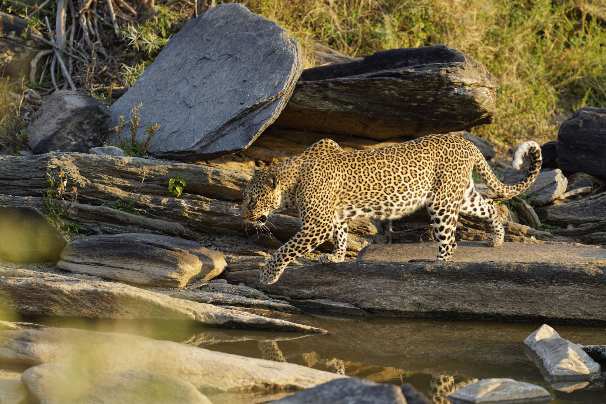 Maasai Mara Sommer 2021 - Leopardin Kaboso