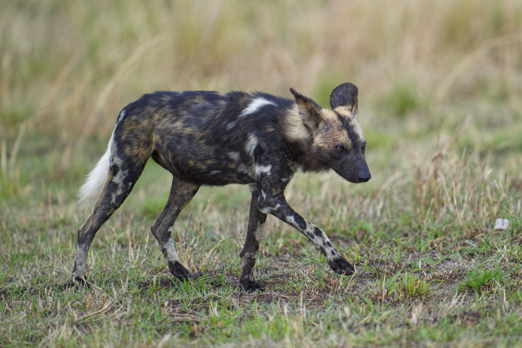 Maasai Mara Sommer 2021 - Wildhunde in der Maasai Mara