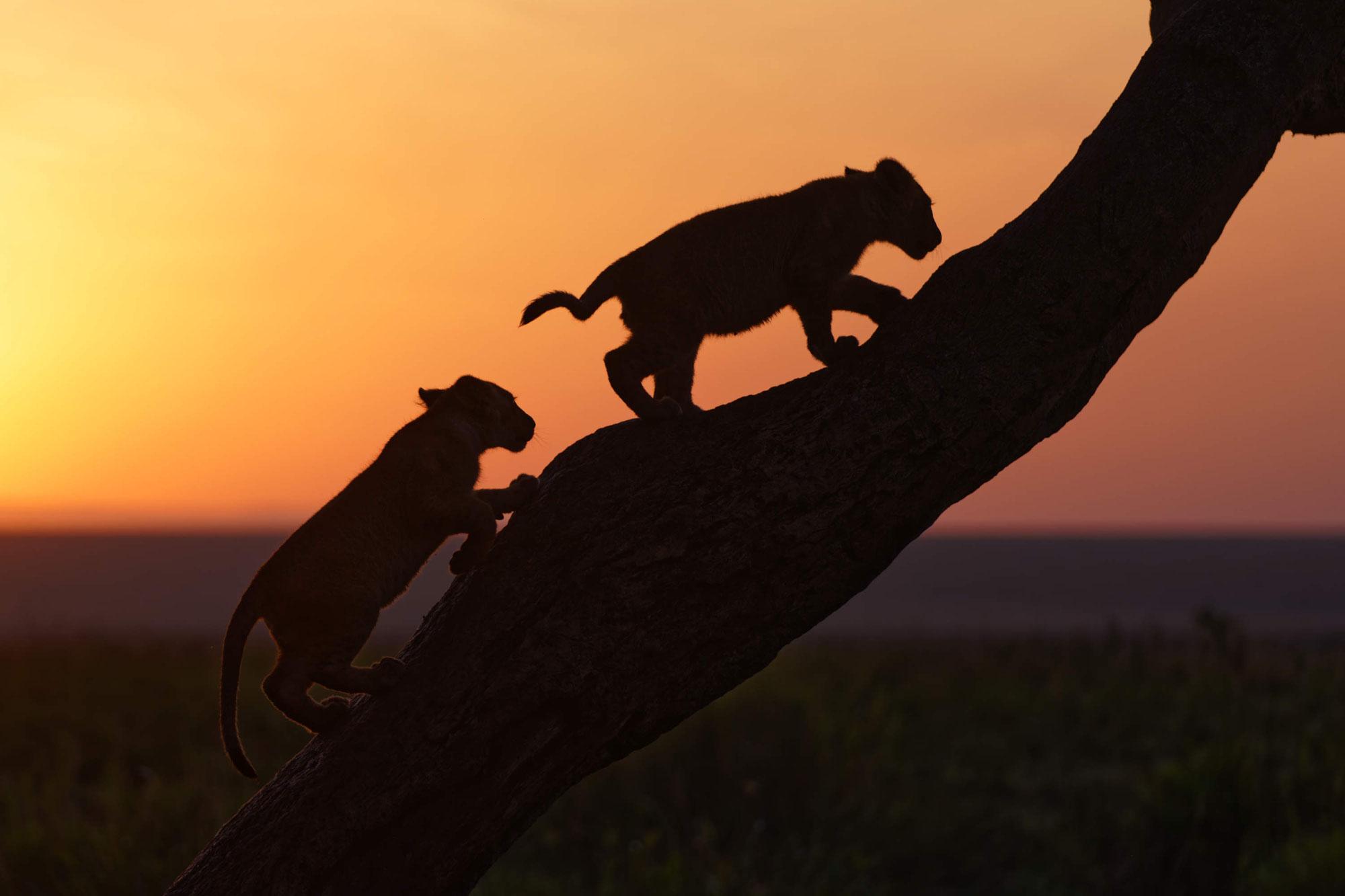 Maasai Mara Sommer 2021 - Löwen Marsh Pride