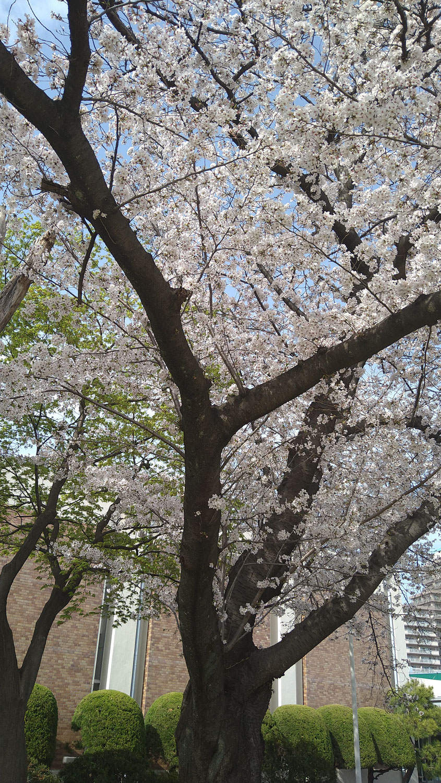 【美しい多摩川フォーラム~桜の語り動画】