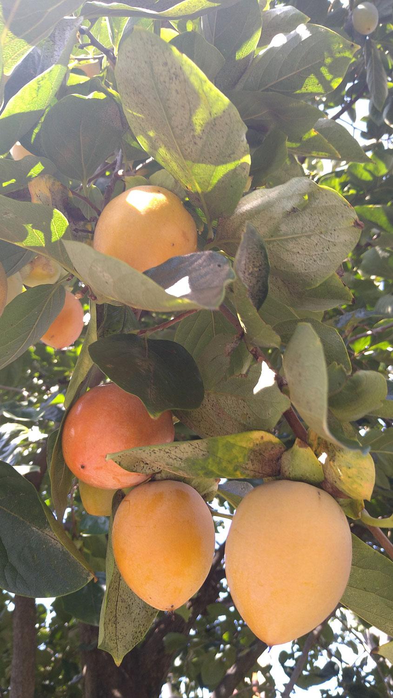 柿も化粧品の原料