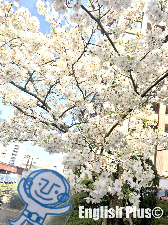 桜の開花状況を伝える時に使える英語表現(英語編)