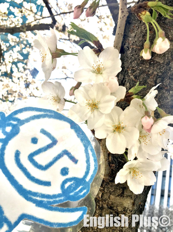 桜の開花状況を伝える時に使える英語表現(日本語編)