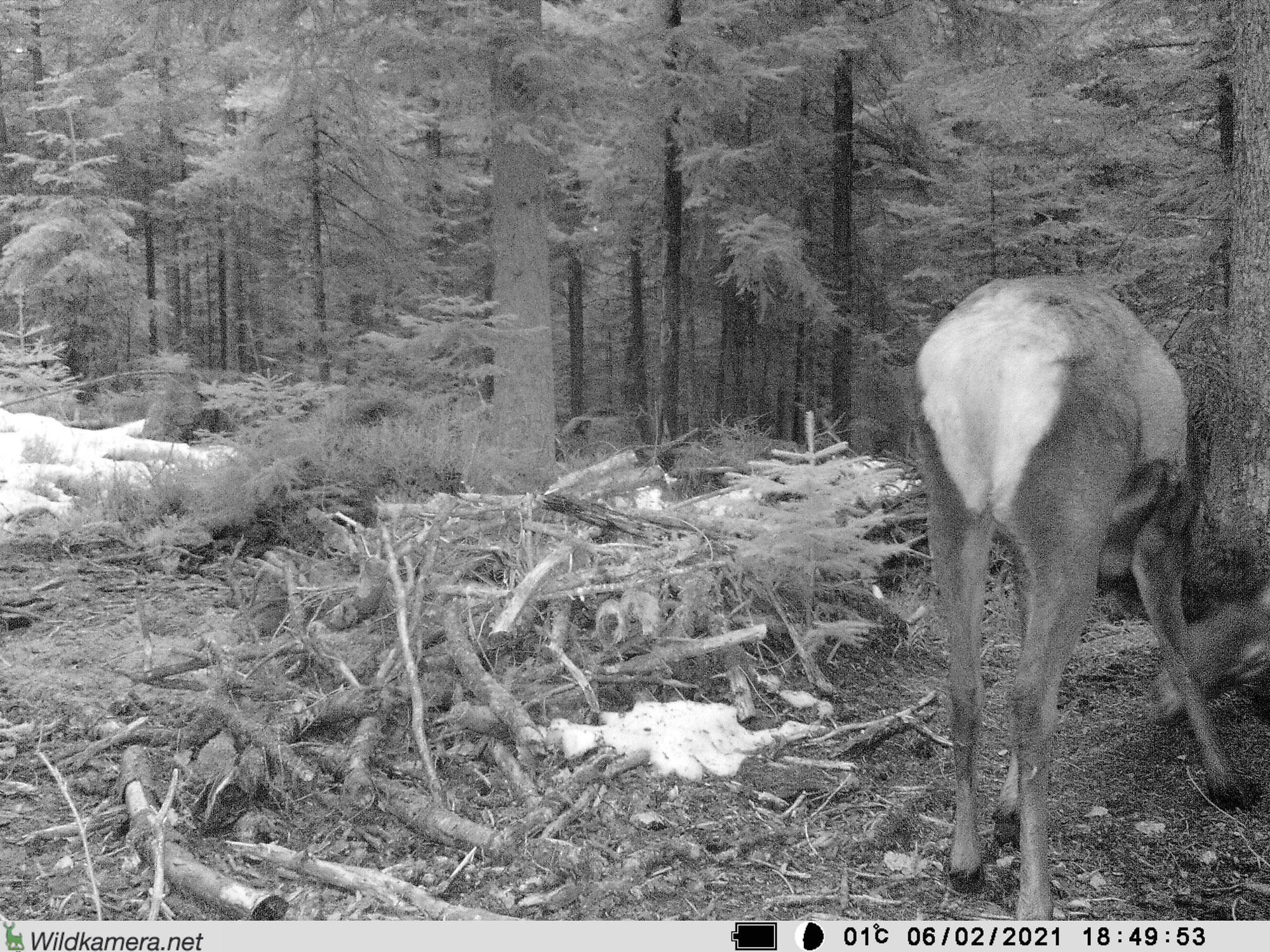 Was haben Hirsche mit Waldameisen zu tun?