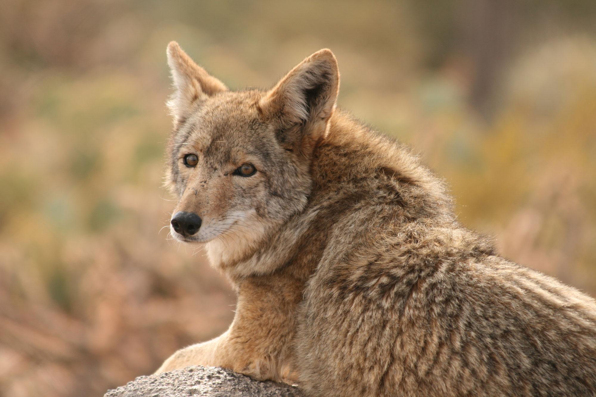 Es ist eine Illusion - Botschaft des Kojoten