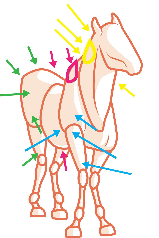 Warum brauchen Pferde überhaupt Faszien Behandlungen?