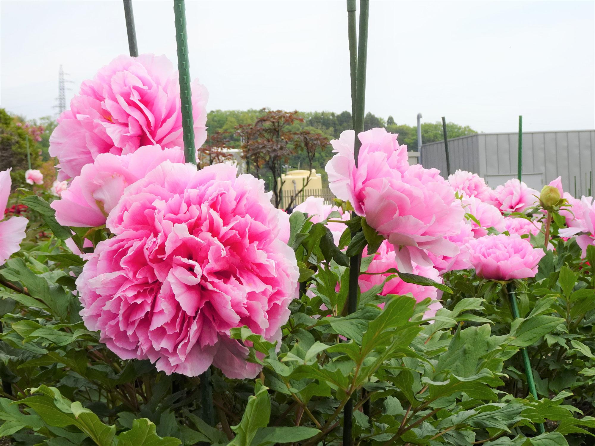 本日の藤・牡丹 | Today's wisteria / peony