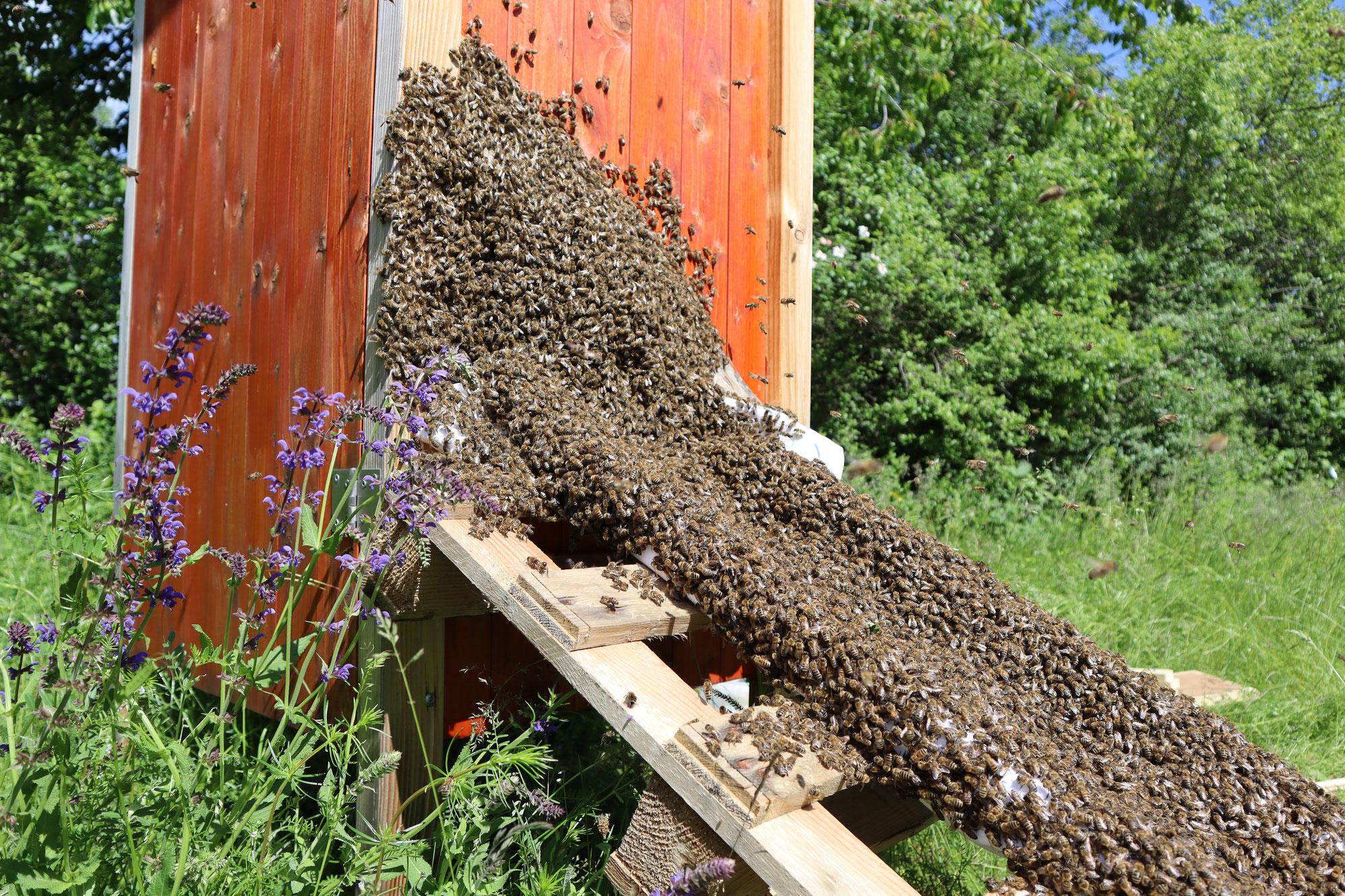 Schwarmzeit bei unseren Bienen
